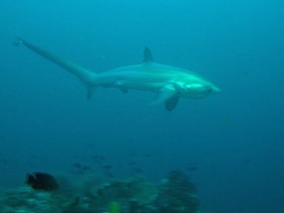 Fuchshai Thresher Shark